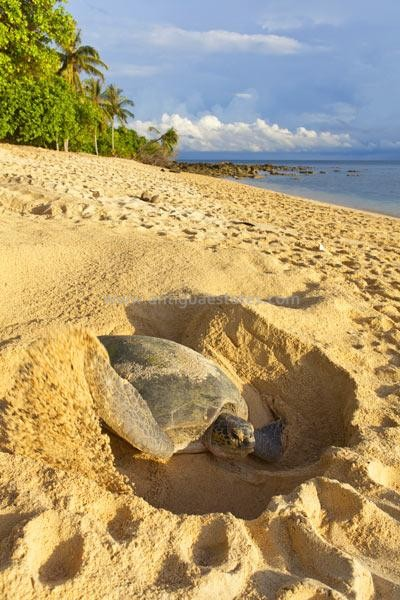 Green-turtle-laying-her-eggs-and-covering-her-nest-on-the-beach-in-the-daytime